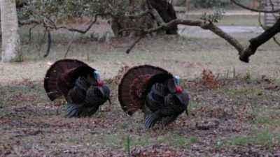 Varieties of turkey food