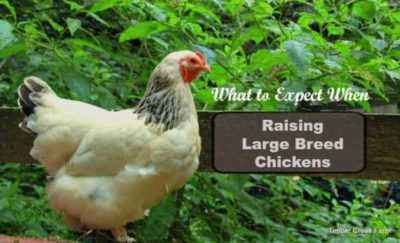 Varieties of large breeds of chickens