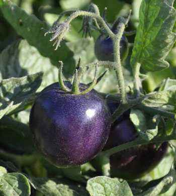 Varieties of Purple Tomatoes