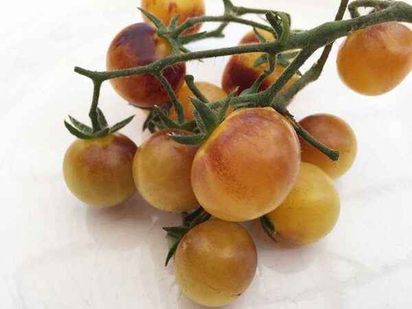 Varieties of Tomatoes Cream