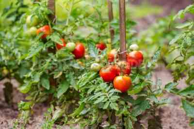 Varieties of undersized tomatoes for open ground without pinching