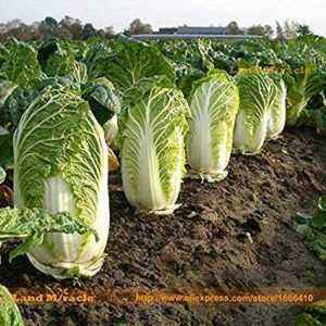 Variety of cabbage Miracle on the Record