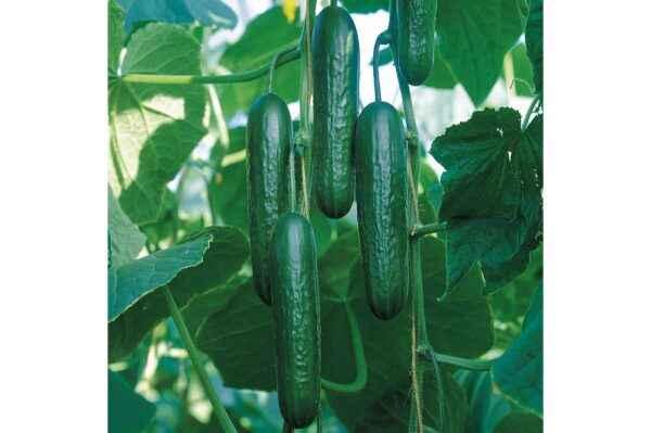 Variety of cucumbers Lutoyar