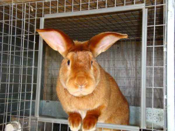 Various meat breeds of rabbits