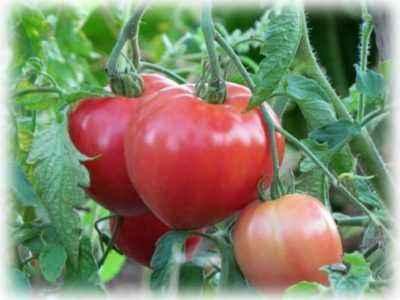 Verlioca tomato variety