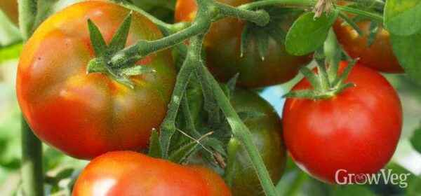 Ways to accelerate the ripening of tomatoes in a greenhouse