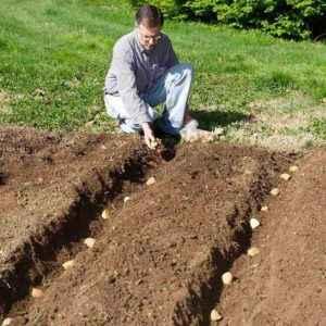 Ways to grow potatoes