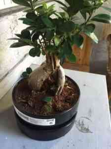 We care for the ficus of Microcarp correctly