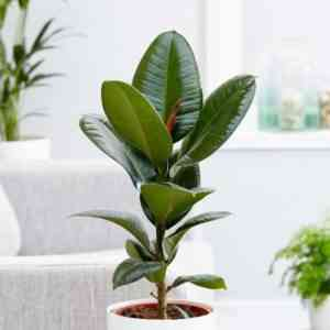 We grow ficus rubbery at home