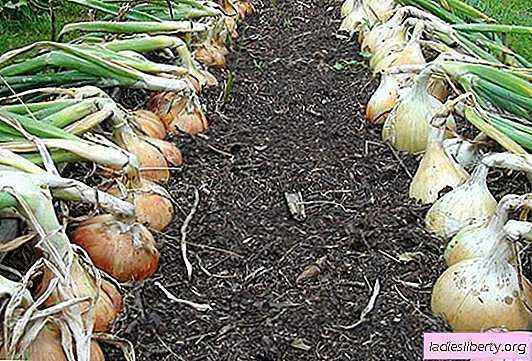 We grow onions Exibishen from seedlings and seeds