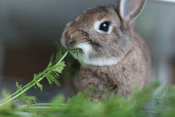 What and in what quantities can be given to the rabbit