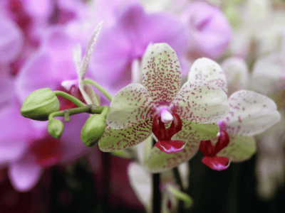 What are kids orchids