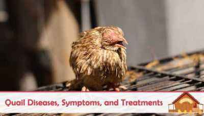 What are quail diseases, symptoms and treatment methods?