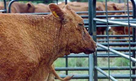 What are the diseases in cows and bulls?