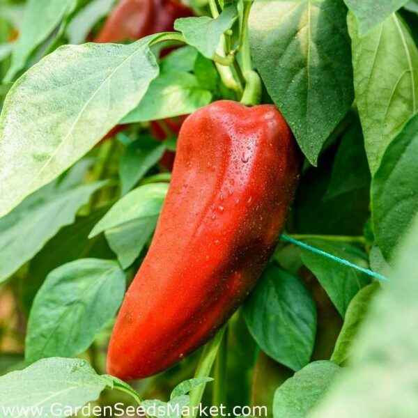 What are the early varieties of pepper