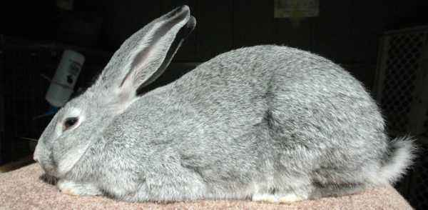 What are the features of the gray giant rabbit breed