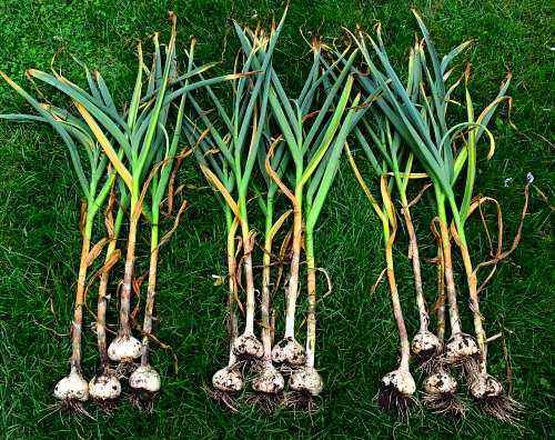 What can be planted after garlic