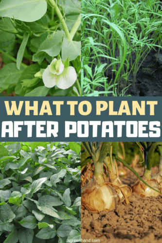 What crops can be planted after potatoes