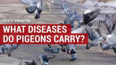 What diseases can pigeons carry?