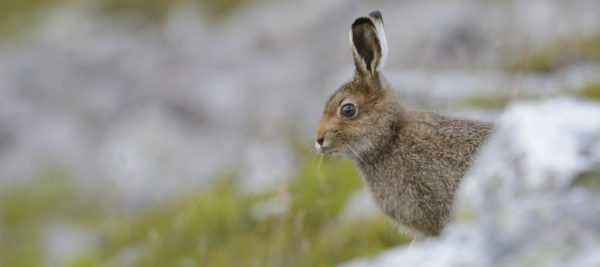 What do hares eat in nature?