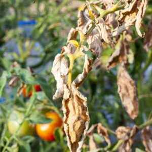 What is fusarium wilt of cucumbers and how to treat it