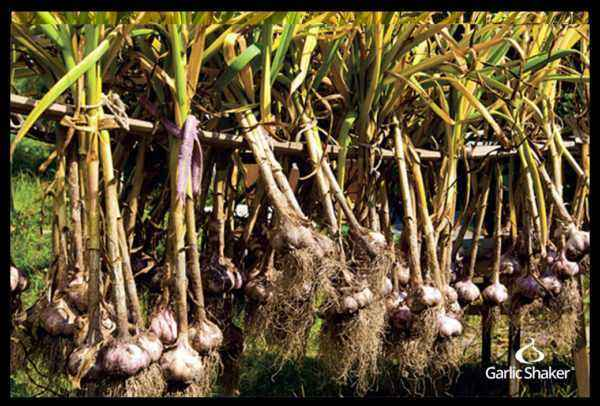 What is the best garlic harvesting technique?