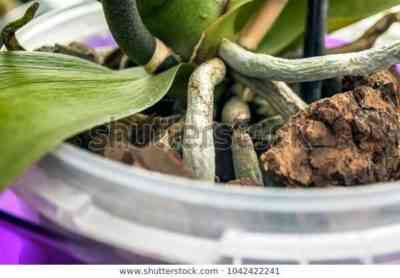 What is the difference between orchid root and peduncle