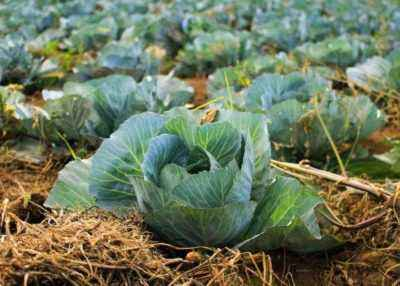 What is the distance between cabbage when replanting