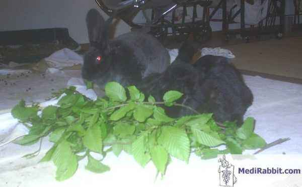 What leaves of fruit trees can be added to the diet of rabbits