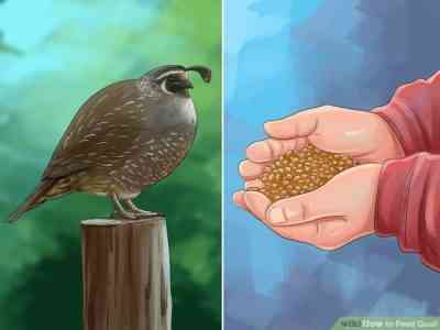 What should be the food for quail and how to make it