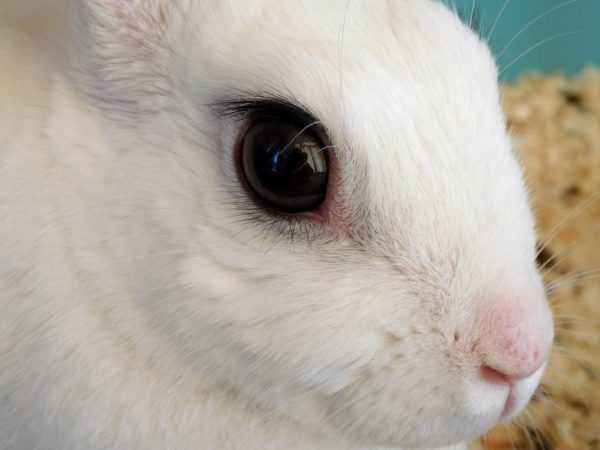 What to do if the rabbit's eyes become inflamed and fester