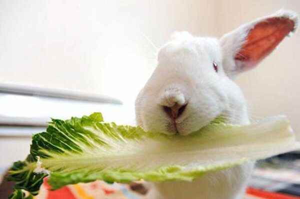 What to feed and what can a decorative rabbit eat