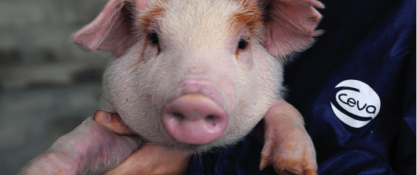 What vaccinations do piglets need from the first days of life