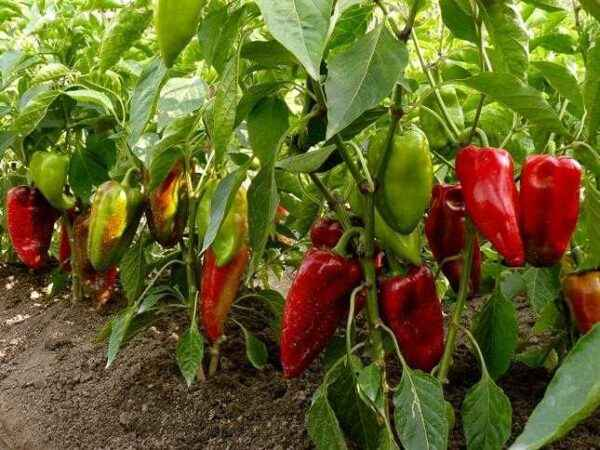 What will help accelerate the ripening of pepper