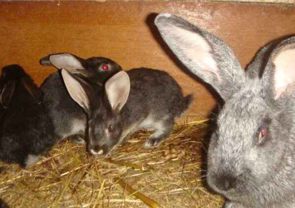 What you need to feed the rabbit after okrolya