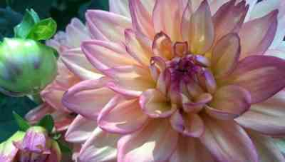 When and how to dig dahlias in the fall