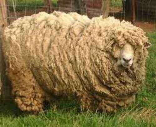 When and why sheep and sheep are sheared