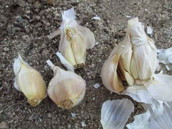 When is it customary to remove winter garlic in the Urals