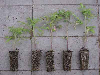 When is the best time to plant tomatoes for seedlings