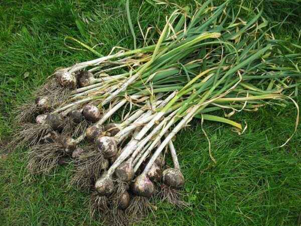 When is the garlic harvested?