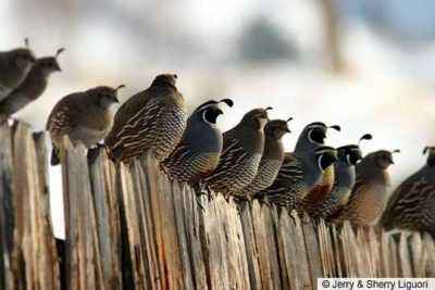 When the quails begin to rush about