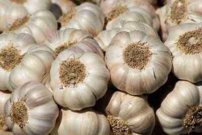 When to collect garlic in Siberia
