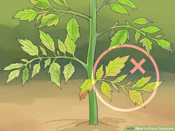 When to cut leaves from tomatoes