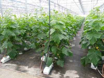 When to plant seedlings of cucumbers for a greenhouse