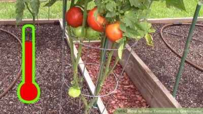 When to plant tomatoes in a greenhouse