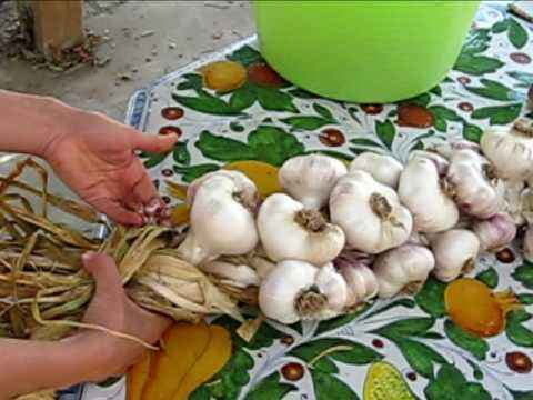 When to tie garlic
