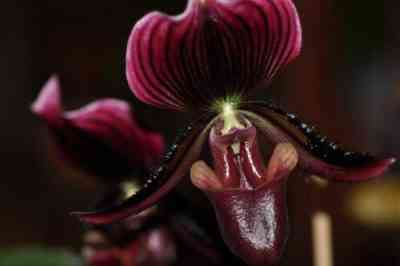 Where is the homeland of the orchid plant