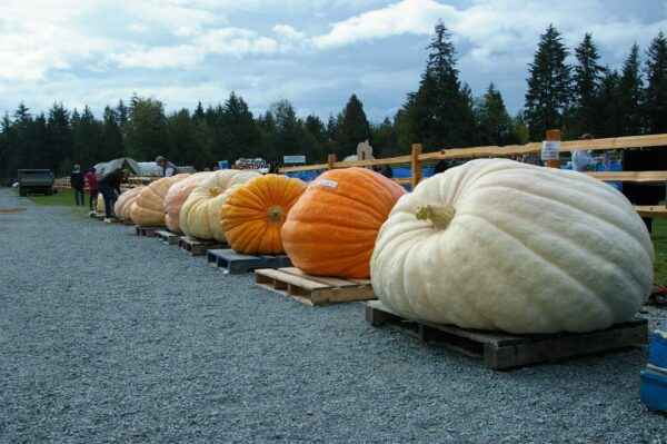 Which pumpkin is recognized as the largest in the world