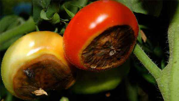 Why can tomatoes rot