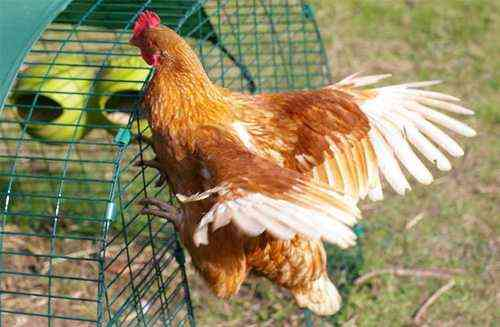 Why chickens can stop flying